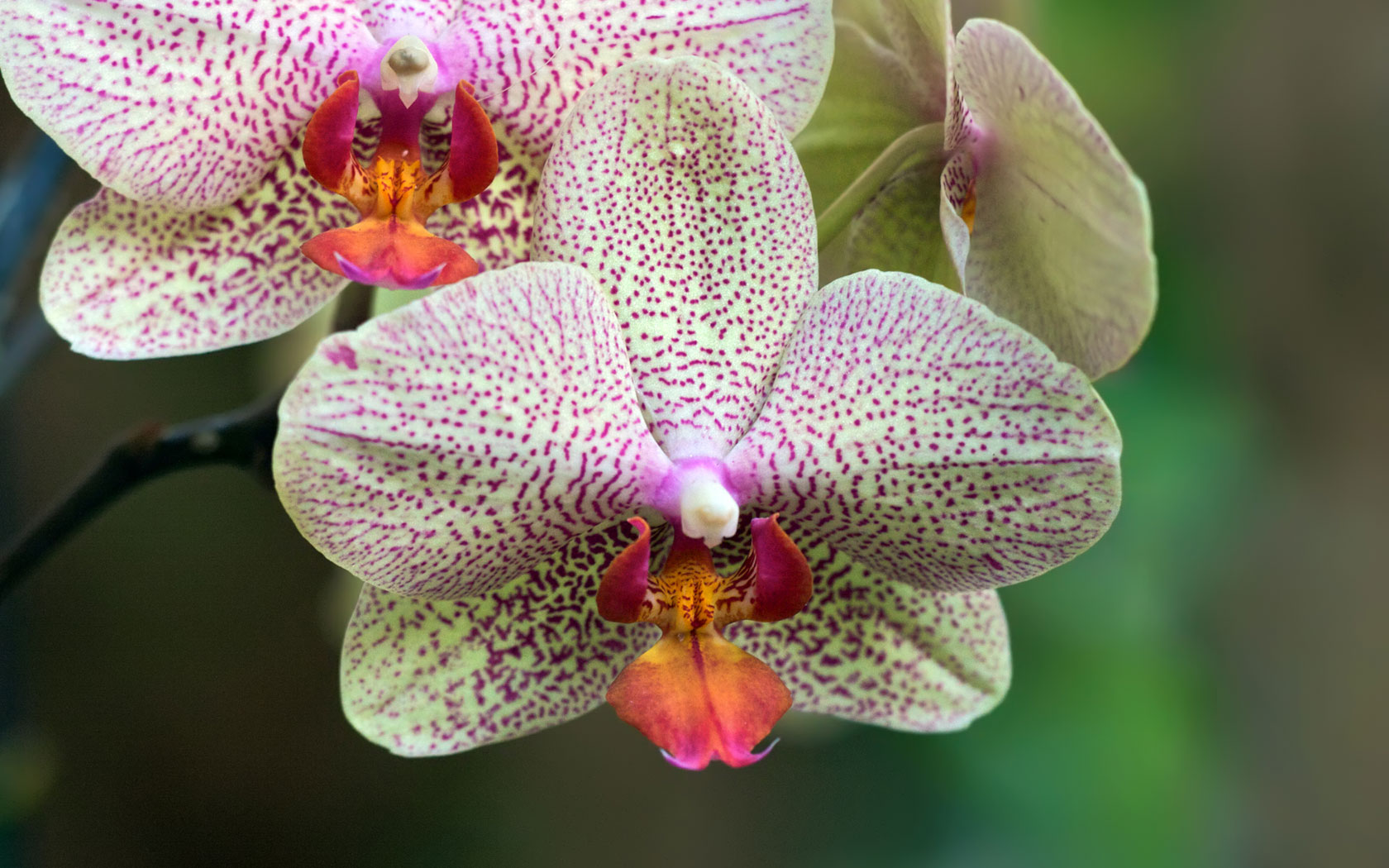 HQ Wallpaper Of A White And Purple Orchid Flower Wallpaper