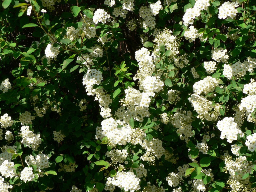 White bush flowers on tree white bush flower 3728 hd for White flowering bush