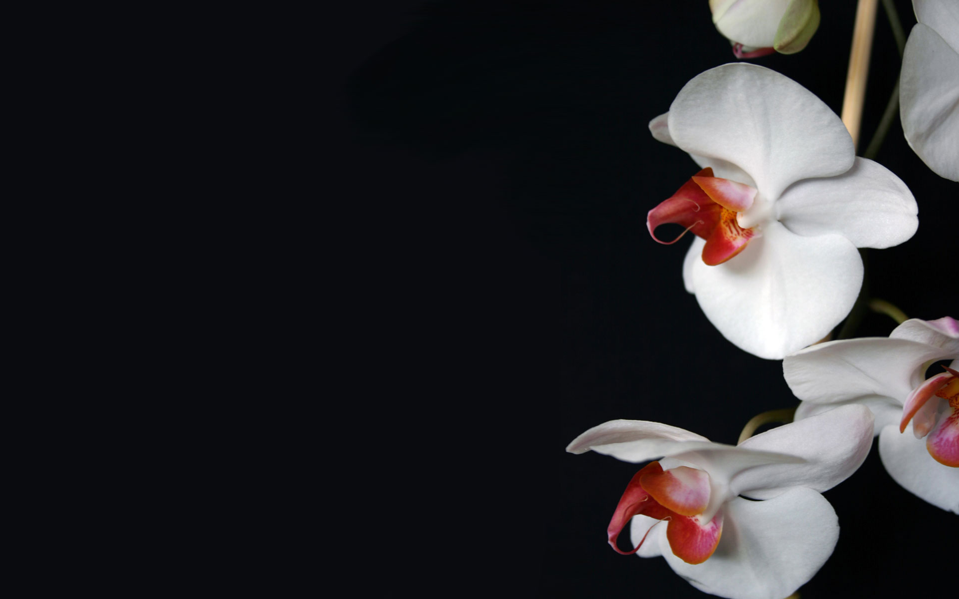 Nature_Flowers_White_Orchid__Flowers_008374_ Wallpaper