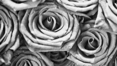 abstract-free-wallpaper-white-roses-62