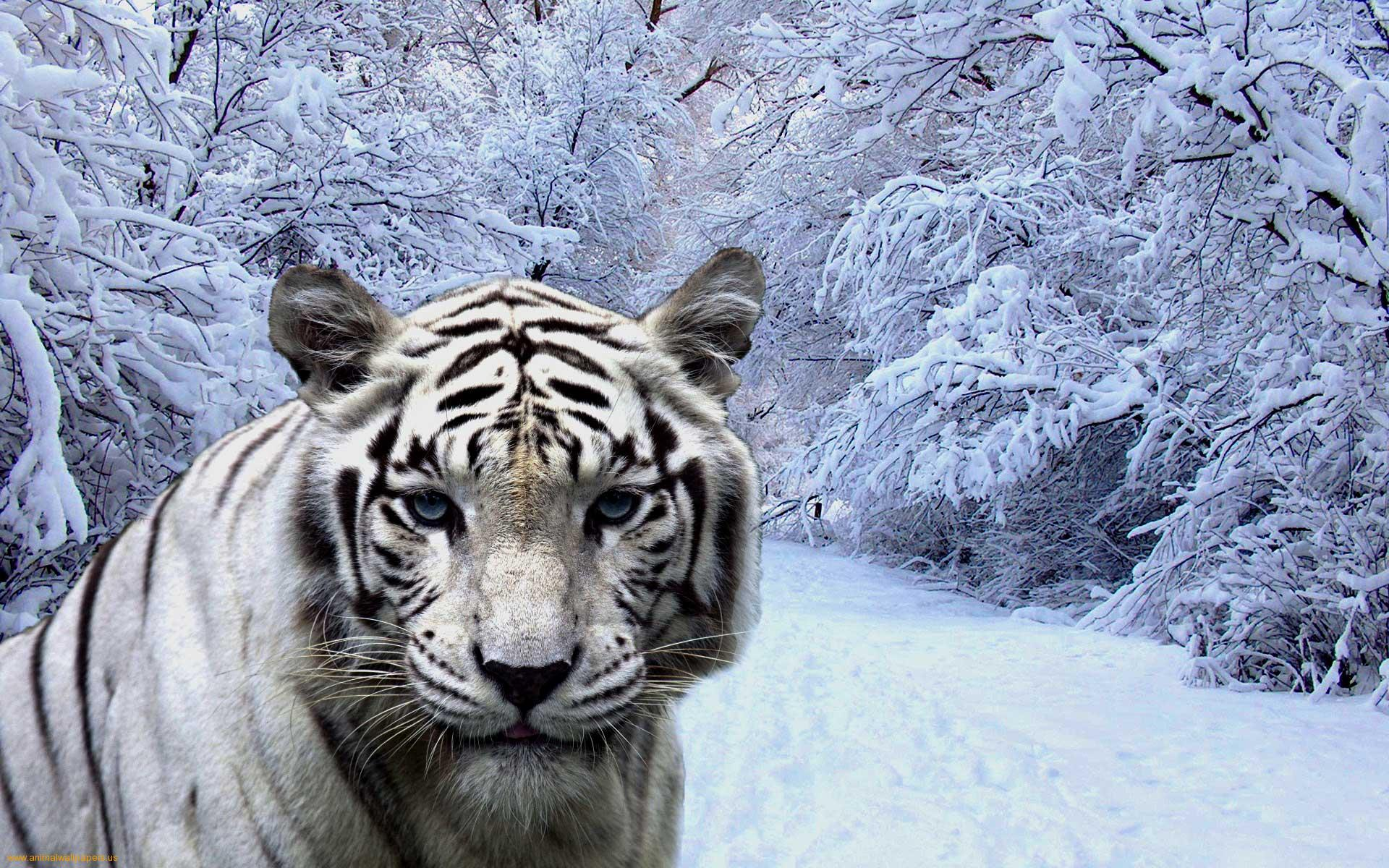 Abstract Free Wallpaper White Tigers Wallpaper