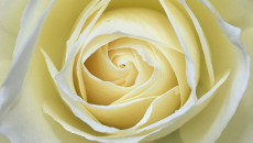 ipad-2-wallpaper-abstract-white-rose-114