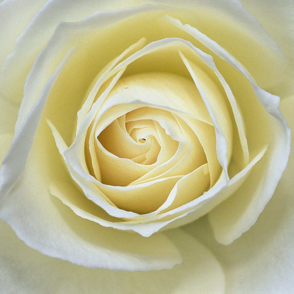 Abstract White Rose Wallpaper