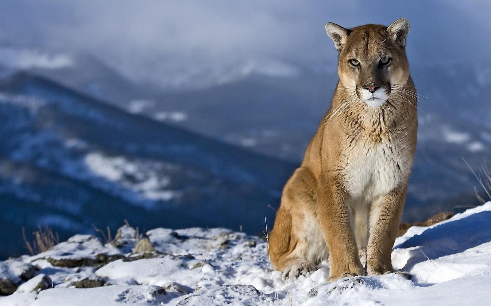 Apple Mountain Lion Background Wallpaper