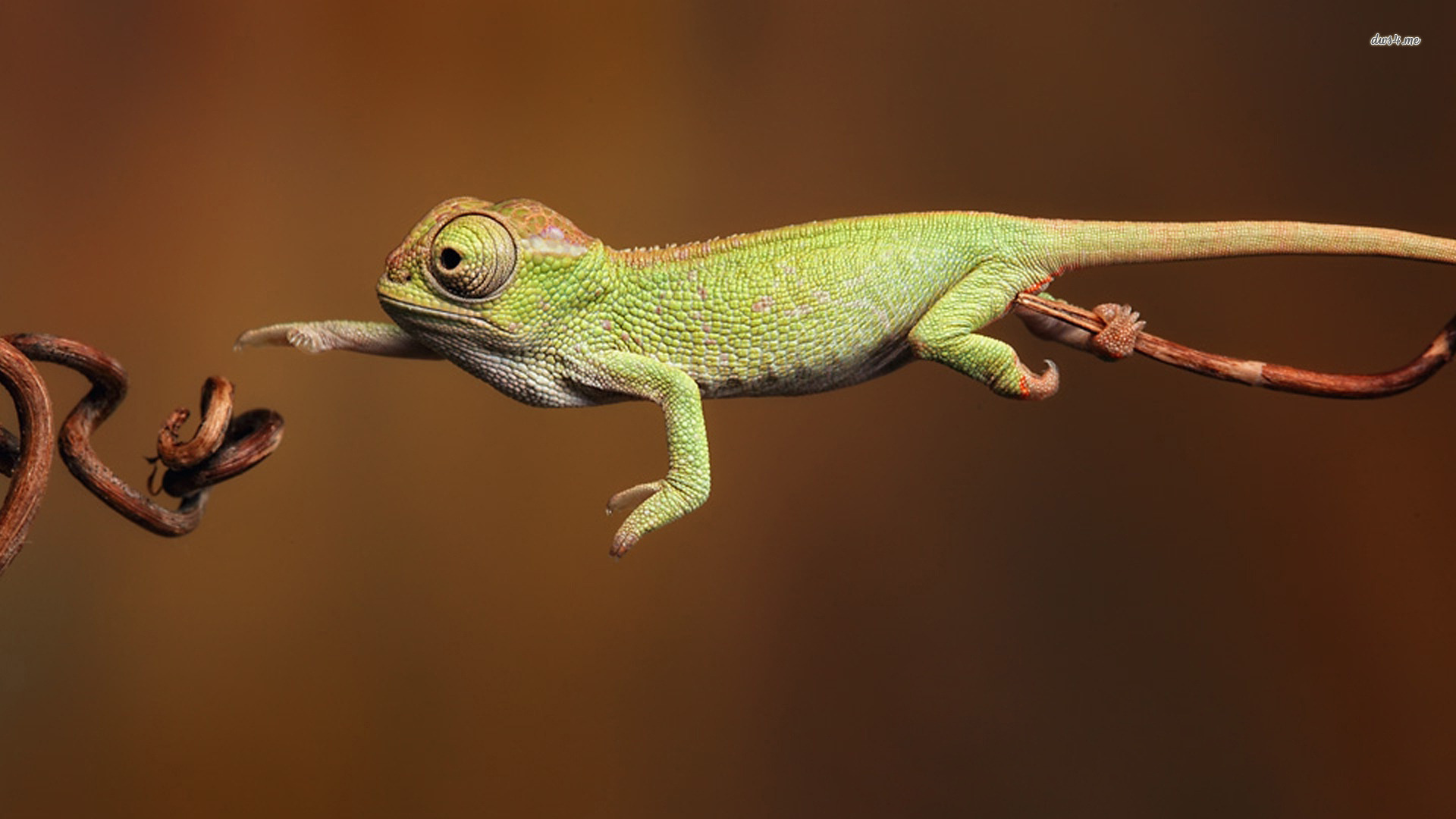 Chameleon Wallpaper 36996 Hd Wallpapers Background