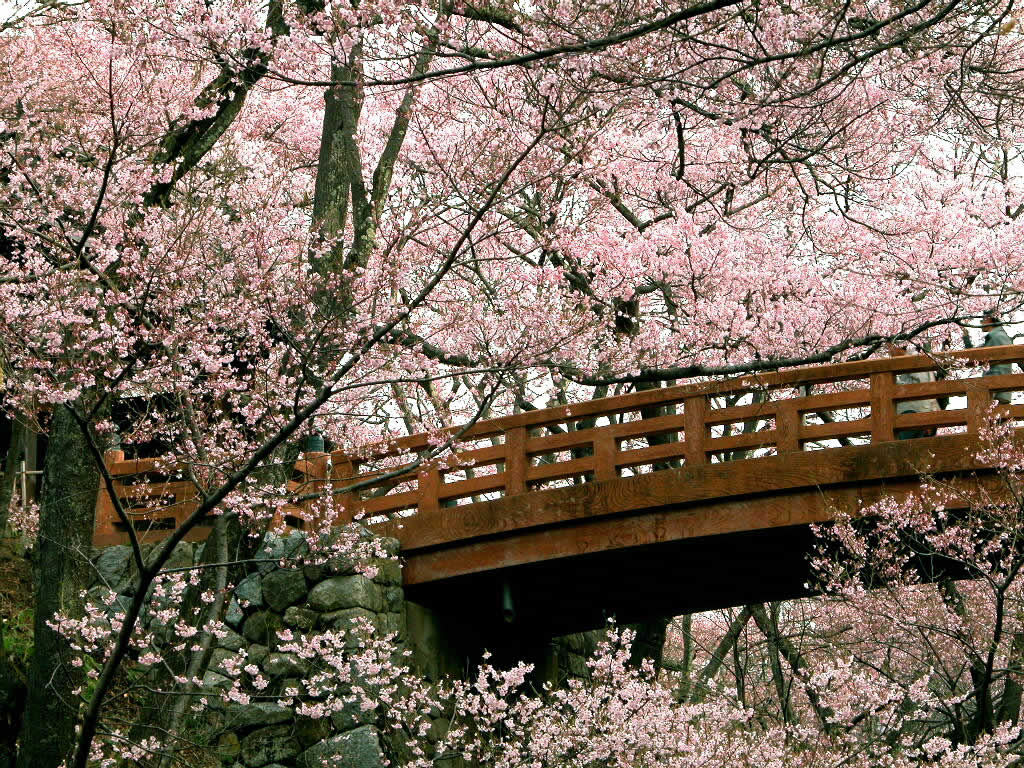 Cherry Blossoms Wallpaper Wallpaper