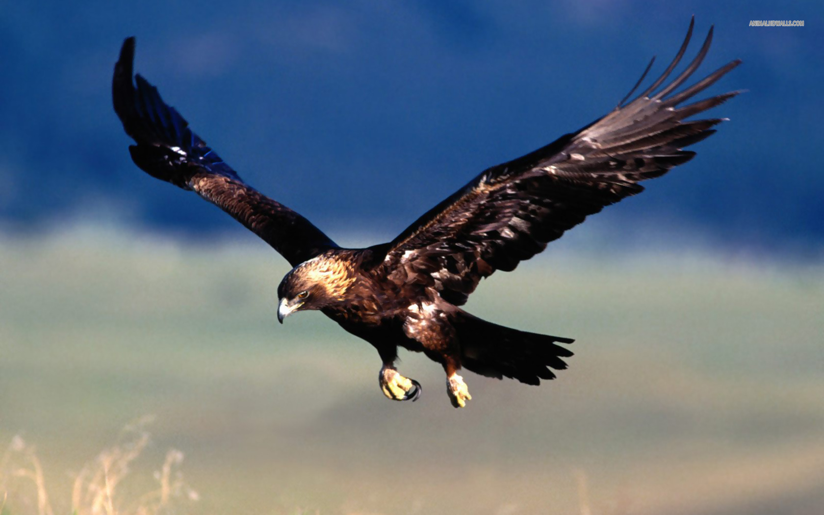 Golden Eagle Wallpaper Wallpaper