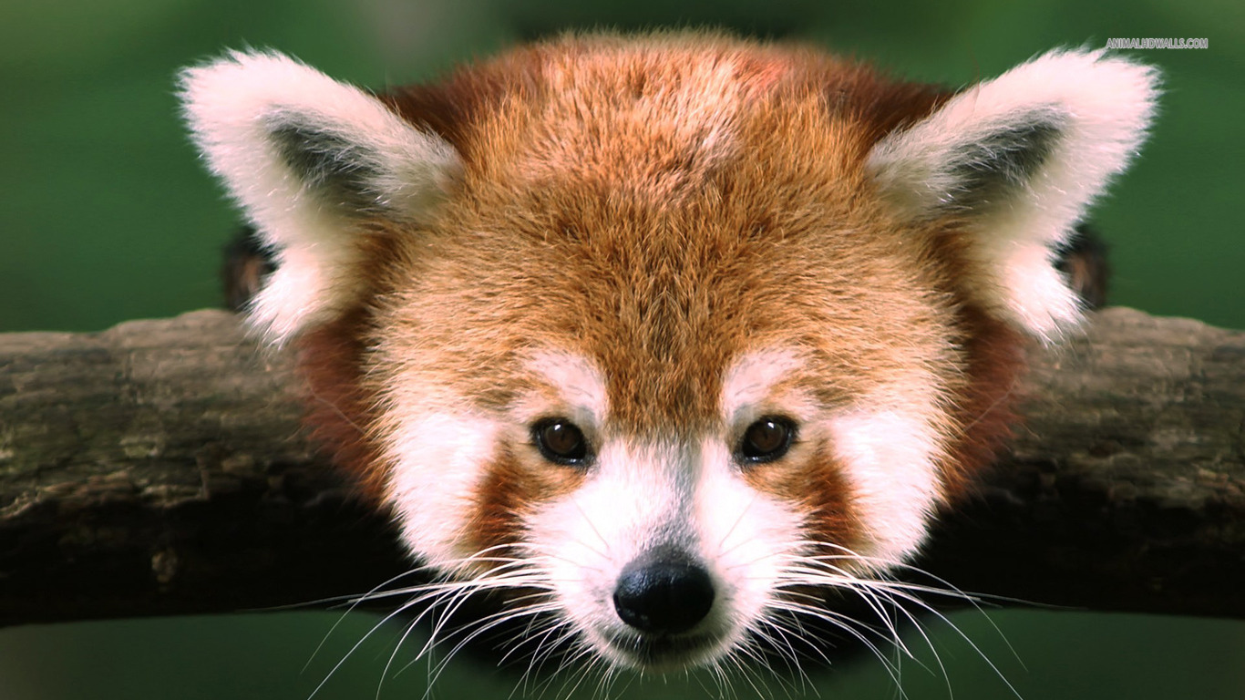 Red Panda Background Wallpaper