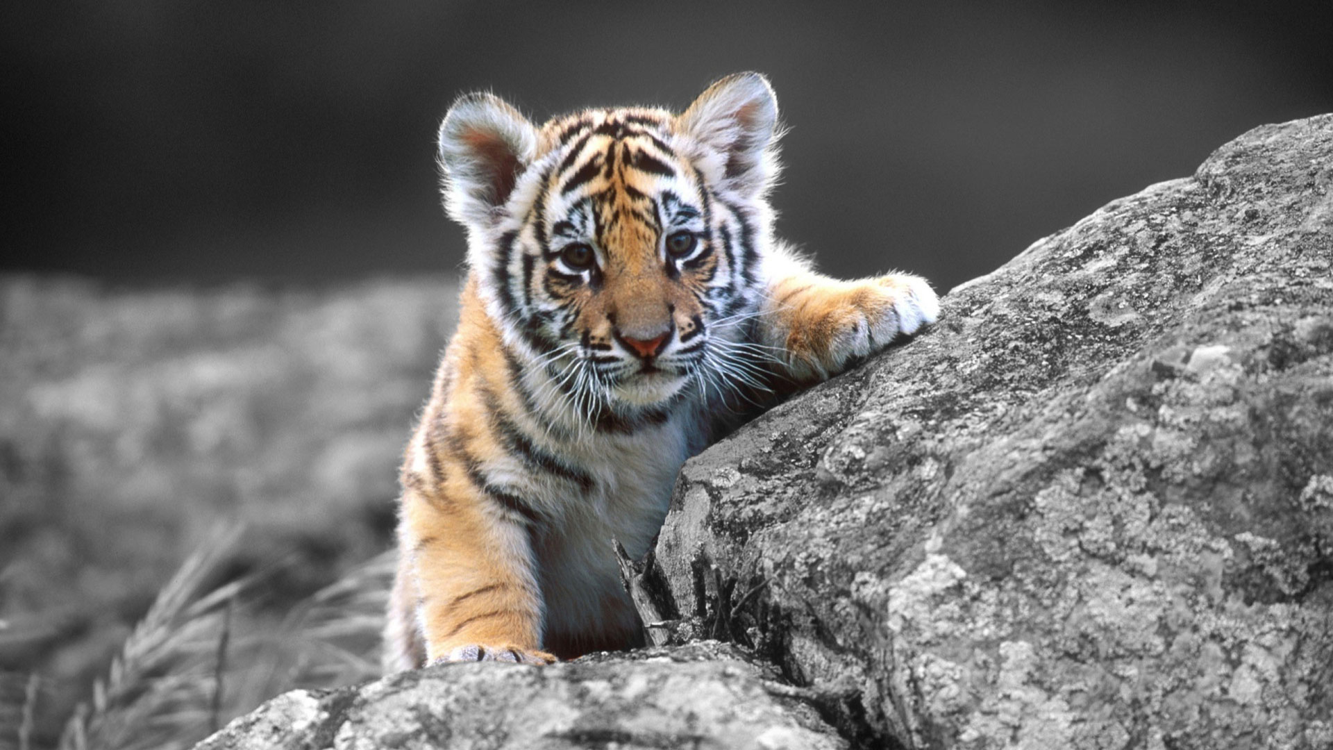 Tiger Wallpaper Hd Wallpaper