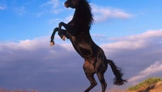 Black Horses, Black Horse Wallpapers
