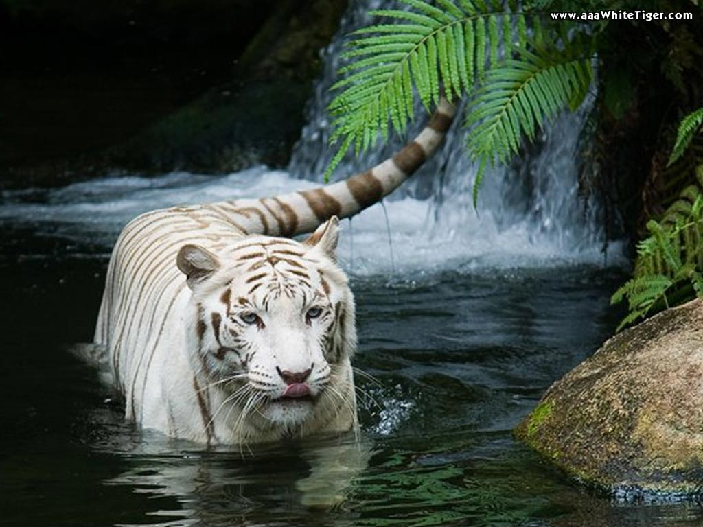 Waterfall Tiger Wallpaper HD Wallpaper