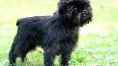 Affenpinscher - Puppies, Information, Pictures, Facts, Behavior