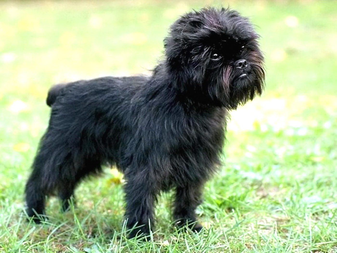 Affenpinscher HD Wallpapers Download Wallpaper