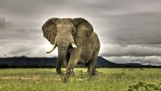 African Bush Elephant - Facts, Lifespan, Habitat, Behavior, Pictures