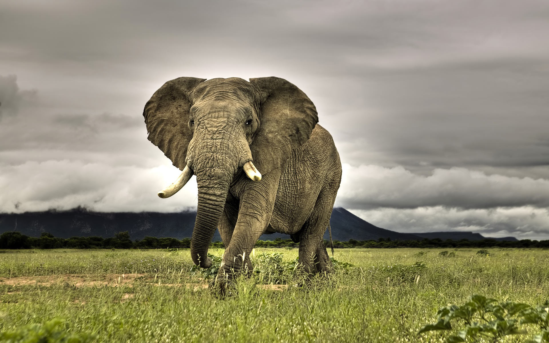 African Bush Elephant HD Animal Wallpaper Download Wallpaper