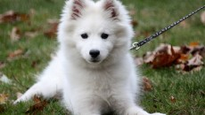 American Eskimo Puppy Pictures Information