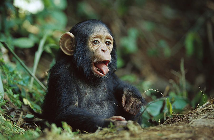 chimpanzee  HD Animal Wallpaper Wallpaper