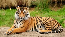 Bengal Tiger - Asiatic Big Cats