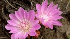 bitterroot lewisia rediviva pursh is a small low plant with