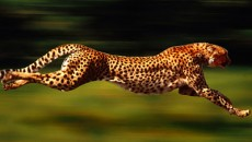 CHEETAH FACTS, VIDEOS AND PHOTOGRAPHS |The Garden of Eaden