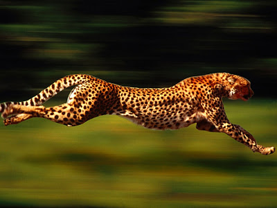 Good Quality Cheetah HD Animal Wallpaper Wallpaper