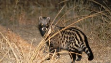 Any One 1-6: African Civet HD Wallpapers