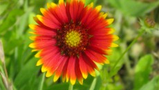 Indian Blanket Flower (Image ID:1-281