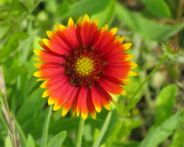 Indian blanket HD Wallpaper Download Wallpaper