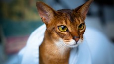 Abyssinian Cat Images | Crazy Gallery