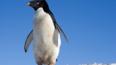 Penguin - Adelie Penguin Information for Kids