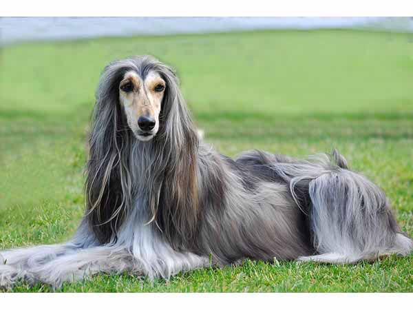 New Afghan Hound hd Animal Wallpaper Wallpaper