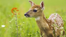 deer culling will obviously reduce the immediate number of deer in a