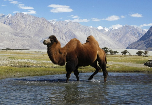 New Bactrian Camel HD Animal Wallpaper Wallpaper