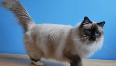 Colours of the Birman Cat