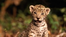 jaguar cub - Baby Animals Photo (19832508) - Fanpop