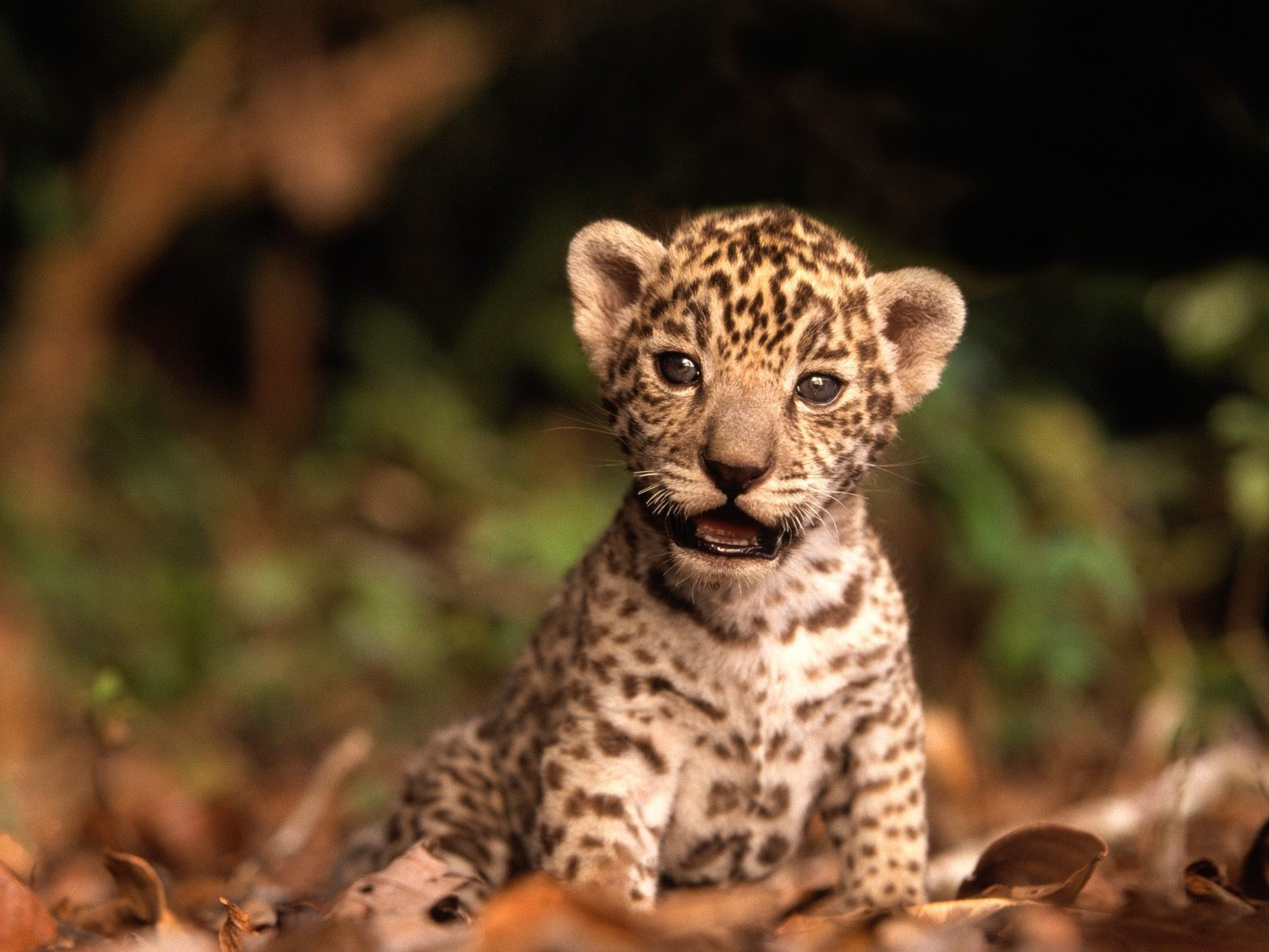 Good Quality jaguar cub HD Wallpaper Wallpaper