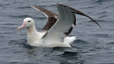 Southern royal albatross. Adult on water showing bill and wing