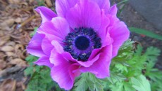 Poppy Anemone | Flickr - Photo Sharing