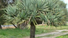 Dragon Tree | Plant Buy Sell Market