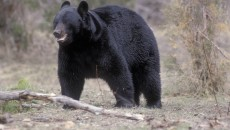 Asian Black Bear - Pictures, Diet, Breeding, Life Cycle, Facts