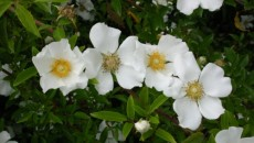 Cherokee Rose – Identification | Walter Reeves: The Georgia Gardener