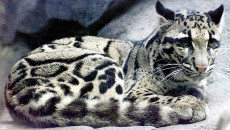 Clouded Leopard | Wildlife Photos-Info | The Wildlife