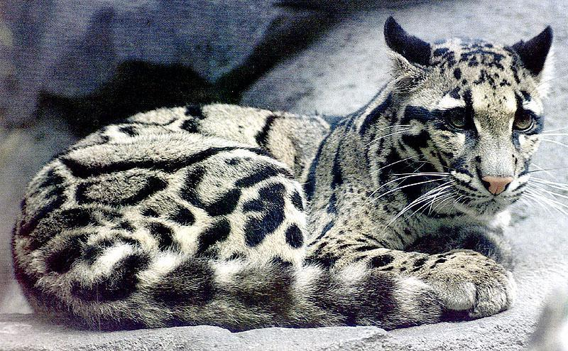 New Clouded Leopard HD Desktop Animal Wallpaper Wallpaper