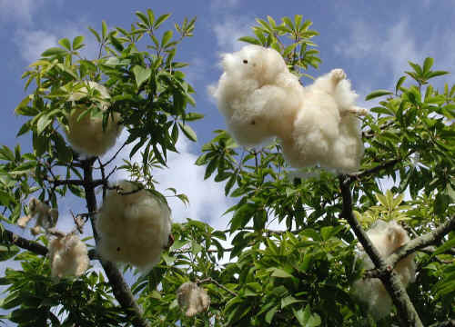 Fresh The Cotton Tree HD Wallpaper Download Wallpaper