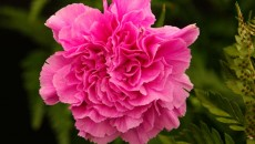 Dianthus caryophyllus Organza - the perfect double pink carnation