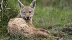 jackal also seemed very similar to the indian golden jackal that we