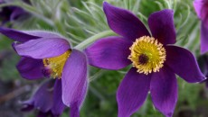 PASQUEFLOWER OR PULSATILLA -- AN ANEMONE RELATIVE - Sowing the Seeds