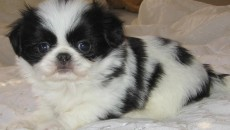 Japanese Chin video