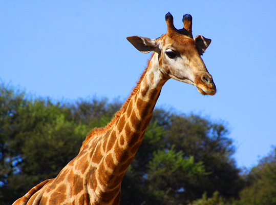 Giraffe HD Quality  Animal Wallpaper Wallpaper
