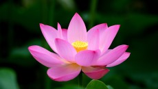 Lotus Flower background wallpaper,Lotus hd wallpapers,Flowers